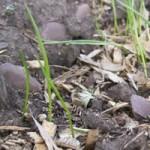 Camassia quamash germinant