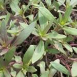 Clarkia Mature Growth