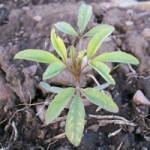 Cleome Mature Growth