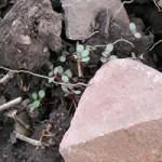 cutleaf daisy germinant
